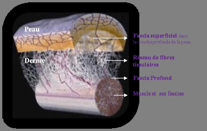 Représentation anatomique du fascia