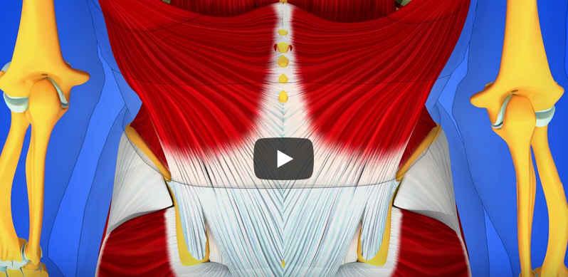 Le fascia thoraco lombaire. Son rôle dans la proprioception 1