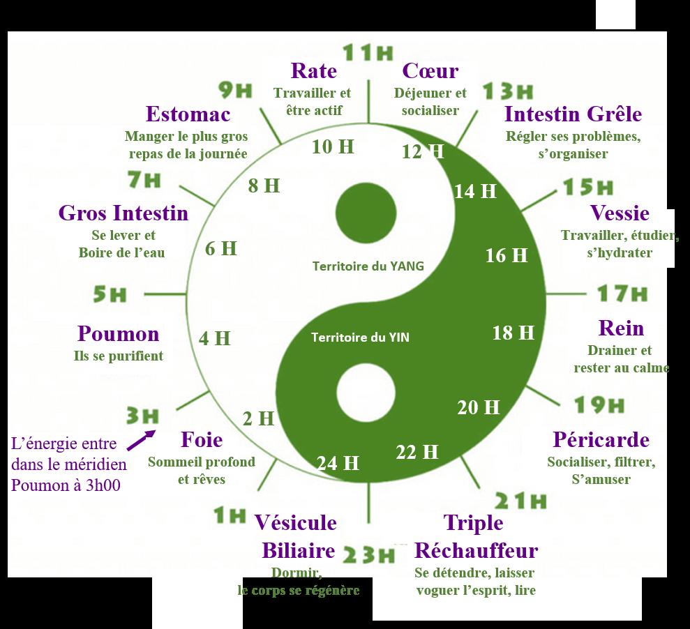 Cycle Energétique des organes.